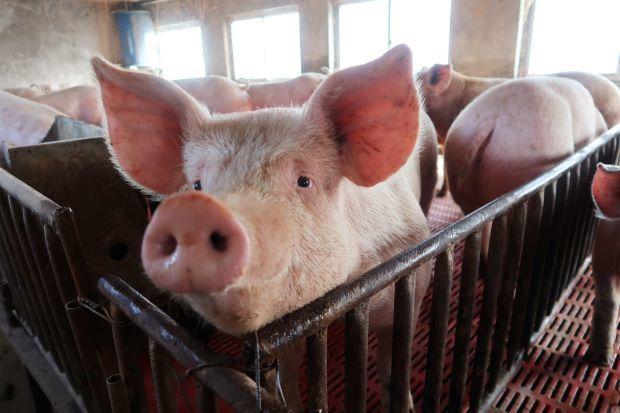 Dịch bệnh khiến cho ngành chăn nuôi lợn gặp khó khăn.