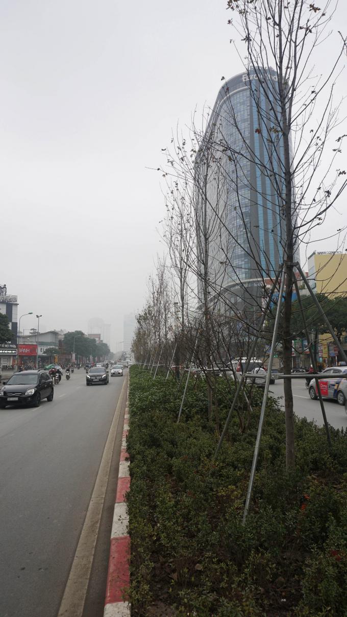 Theo ghi nhận của phóng viên trong sáng 11/1, hàng cây phong lá đỏ trên trục đường Trần Duy Hưng lá đã rụng nhiều nhưng thân cây vẫn tươi tốt.