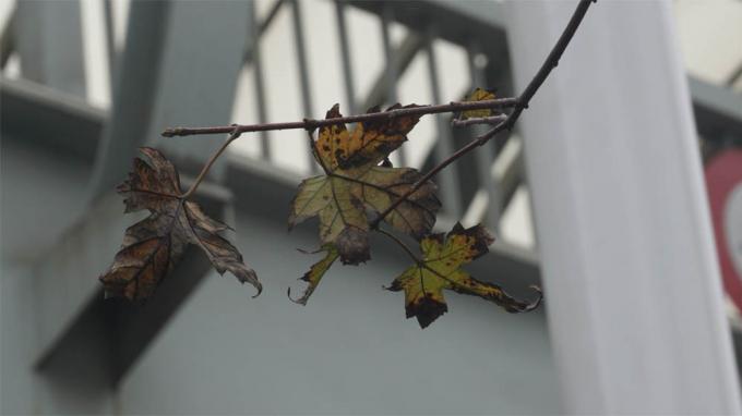 Lá cây phong có hiện tượng úa, ngả màu đen.
