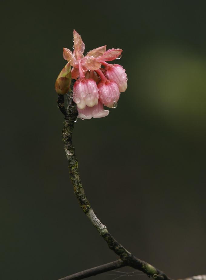 Hoa đào chuông đã có tại Bà Nà từ rất lâu. Loài hoa này vốn mọc trên những vùng núi cao có khí hậu mát mẻ và sương mù như khu vực Núi Chúa và Bạch Mã.