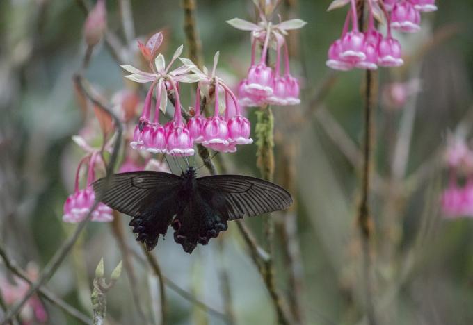Vẻ đẹp độc lạ cùng hương thơm nhẹ nhàng, thanh khiết, loài hoa này cũng là tâm điểm thu hút chim muông, đặc biệt là chim hút mật và ong bướm.
