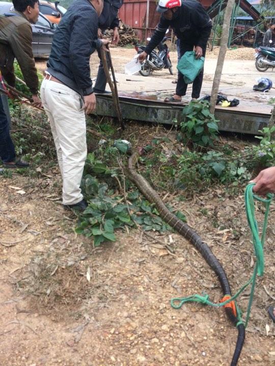 Con rắn dài gần 5 mét, nặng 20 kg.
