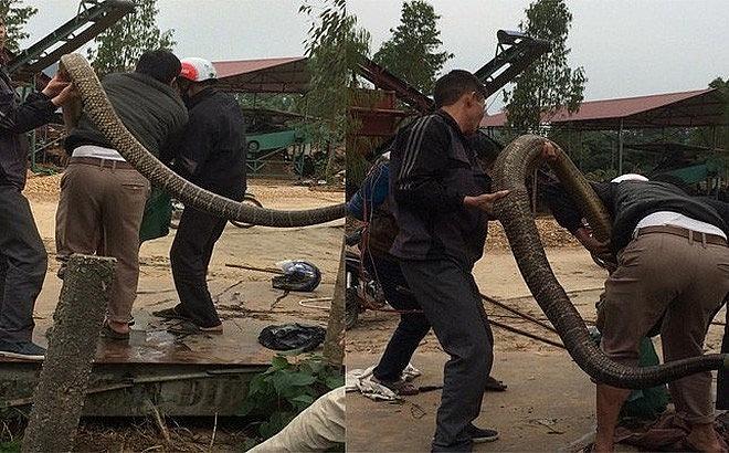 Người dân tiến hành vây bắt rán hổ mang chúa không lồ tại xã Ngọc Thanh (Ảnh cắt từ clip)