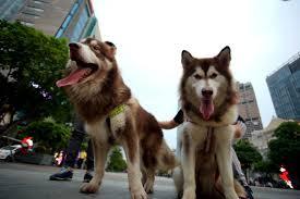 Chủ vật nuôi chó, mèo phải thực hiện đăng ký với UBND xã, phường, thị trấn; thực hiện xích, nhốt hoặc giữ trong khuôn viên gia đình.. (Ảnh minh hoạ).