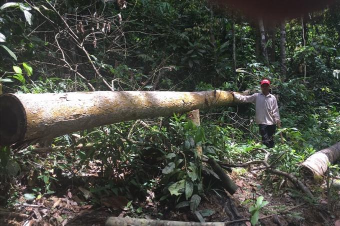 24 cây rừng đã bị thủ phạm chặt hạ về làm... chuồng bò và chuồng gà. Ảnh: H.H