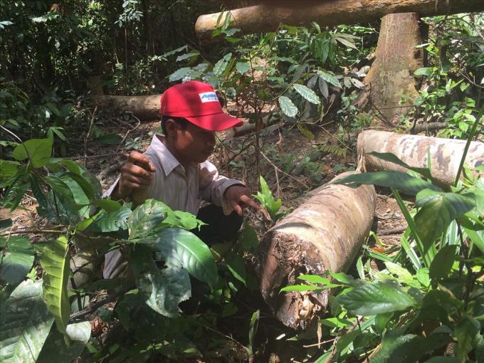 Vụ phá rừng tại khoảnh 7, Tiểu khu 363, Nông lâm trường Tân Lập, thuộc Công ty TNHH MTV cao su Bình Phước gây bức xúc dư luận suốt 1 tháng qua. Ảnh: H.H