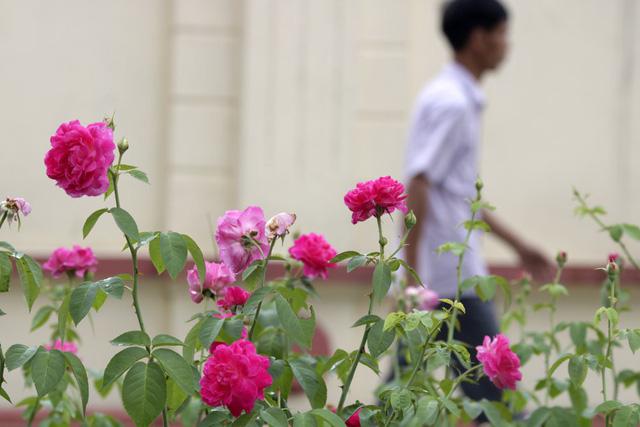 Các khóm hoa được trồng ngắt quãng từng đoạn, không phải trồng liền suốt chiều dài tuyến đường.