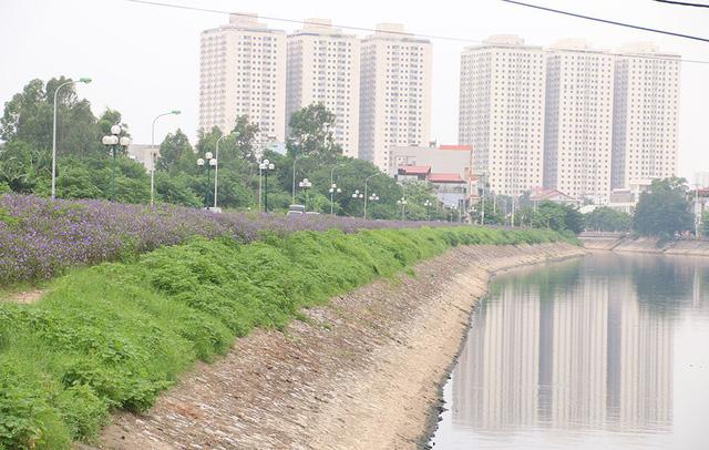 Đoạn đường Phan Trọng Tuệ thuộc xã Thanh Liệt bên dòng sông Tô Lịch bỗng nhiên trở nên thơ mộng bởi sắc tím của hoa dạ yến thảo Mexico (hay còn gọi là hoa chiều tím).