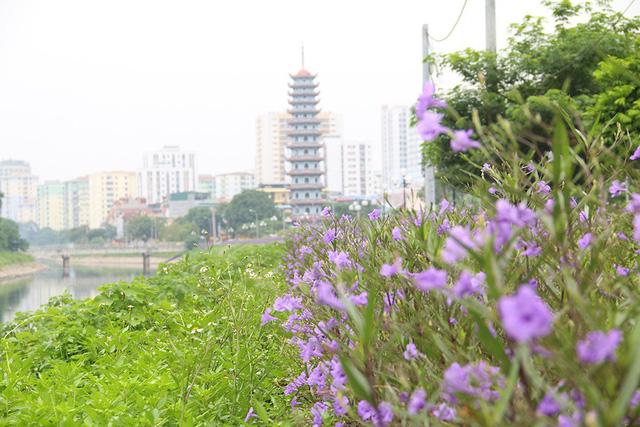 Quãng đường được phủ bởi hoa chiều tím kéo dài khoảng 1km, do người dân nơi đây trồng và chăm sóc khoảng 3 tháng trở lại đây. Thời điểm hiện tại, hoa đang nở rộ rất đẹp.