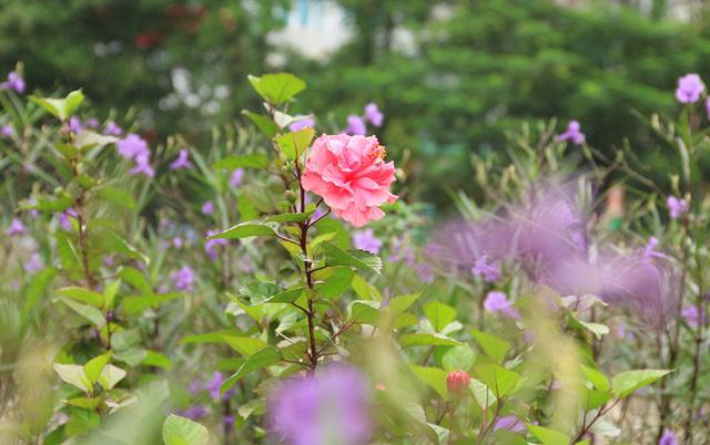 Không chỉ có hoa chiều tím, người dân nơi đây còn trồng xen kẽ thêm nhiều loại hoa khác.