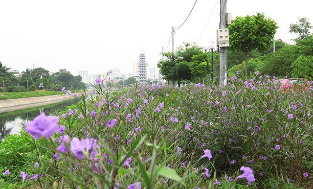 Quãng đường phủ đầy hoa chiều tím. Từ ngày có con đường hoa, cứ chiều đến, nhiều người dân đến đây đi bộ, tập thể dục.