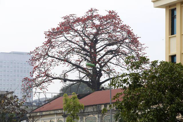 Thân cây thẳng, lá rụng vào mùa đông, hoa có 5 cánh nở vào mùa xuân trước khi cây ra lá non. Trên đường phố, từ xa cũng rất dễ quan sát thấy cây gạo.