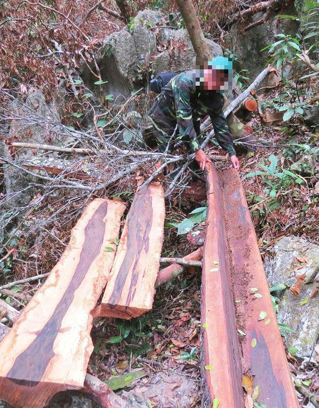 """Phóng viênPLVN bên một bãi gỗ mun mà """"lâm tặc"""" đã khai thác."""
