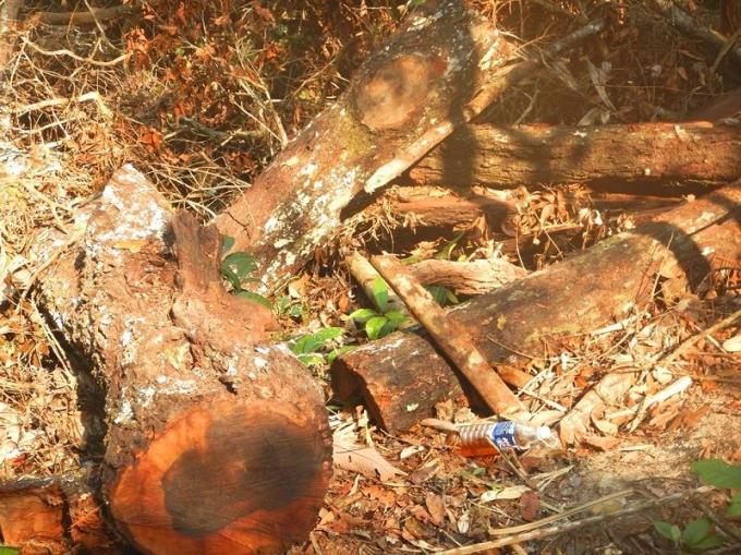 Một bãi khai thác gỗ mun khác của