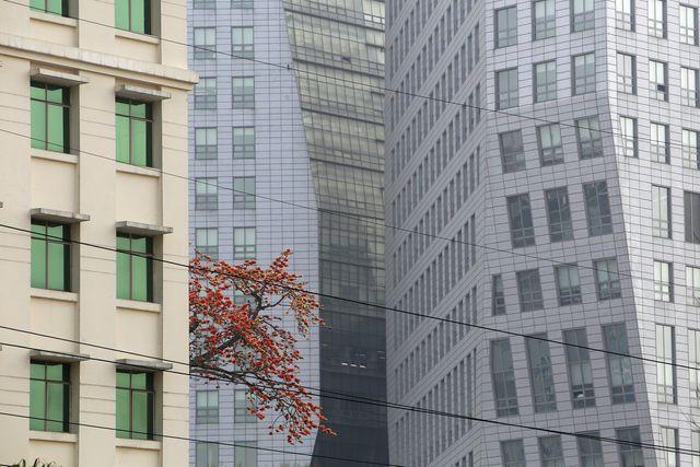 Một tán cây gạo đang độ nở hoa rực rỡ ẩn hiện bên cạnh những tòa nhà cao tầng.