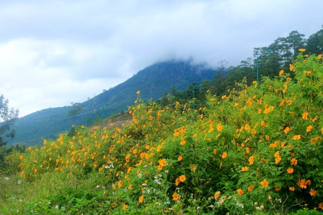 Dã quỳ thấp thoáng dưới chân núi - Ảnh: Xuân Lộc.