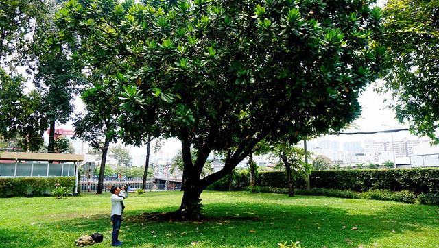 Cây bàng vuông mang từ Trường Sa về trồng tại TPHCM gần 20 năm đang vào độ nở hoa.