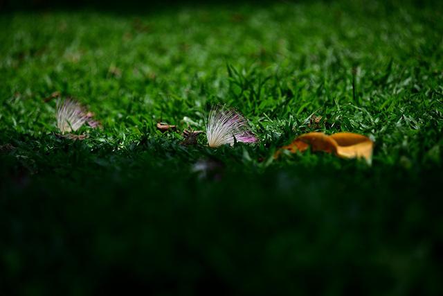 Những bông hoa bàng rụng xuống thảm cỏ xanh.