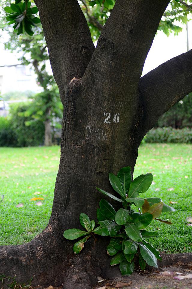 Cây bàng vuông được trồng ở bờ kênh Nhiêu Lộc- Thị Nghè. Thân cây to bằng vòng tay người lớn.