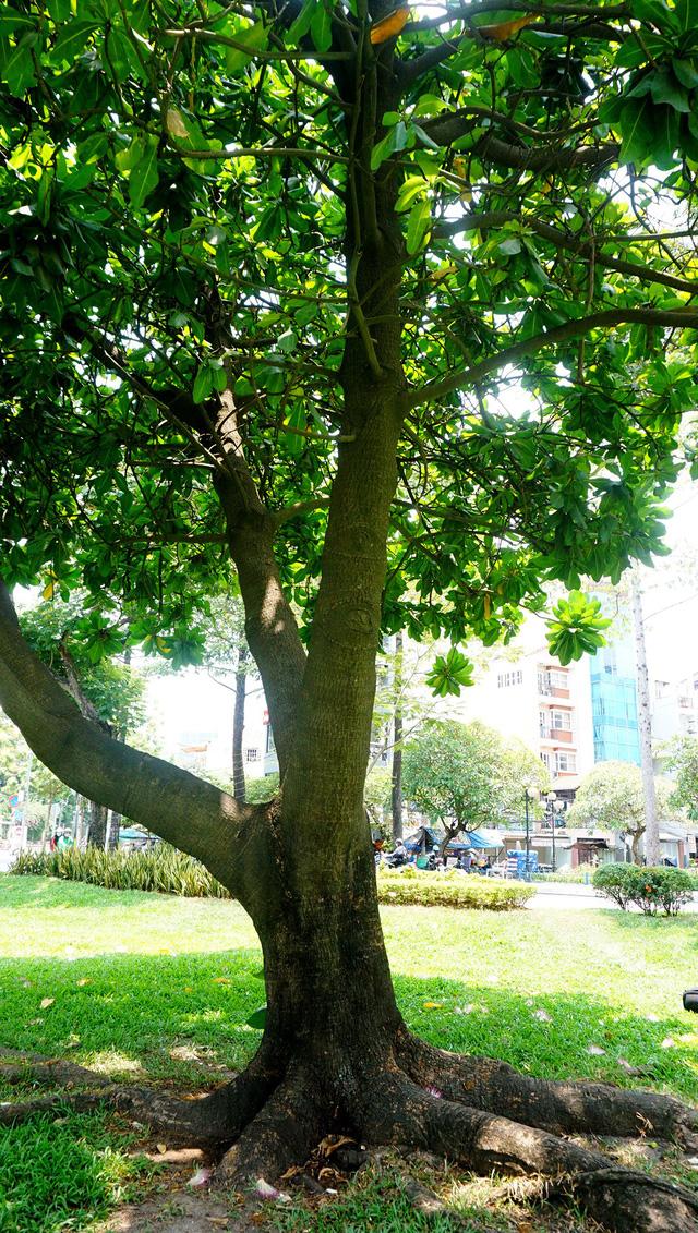 Sau gần 20 năm phát triển, cây bàng cao khoảng 6m.