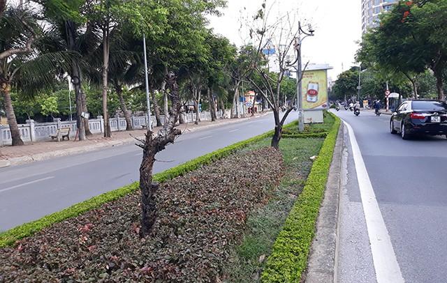 Hàng loạt cây đào đã chết khô dọc tuyến đường Lạc Long Quân