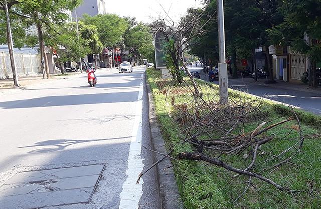 Hà Nội: Hàng loạt gốc đào cổ chết khô trên đường Lạc Long Quân