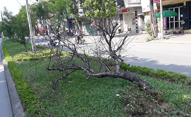 Nhiều cây chết đổ rạp xuống dải phân cách.