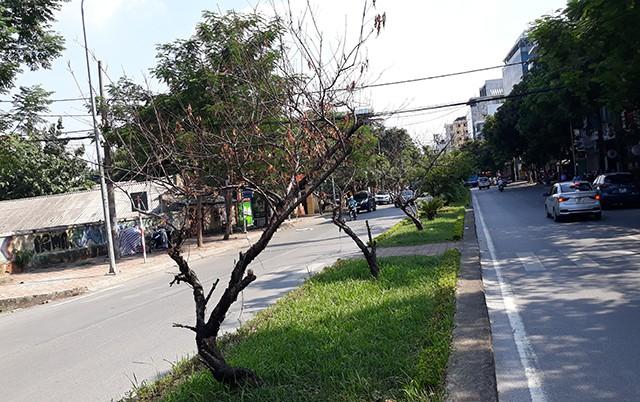 Những cây đào như những cành củi khô trên đường Lạc Long Quân