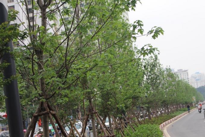Cùng chờ đón hàng cây phong vào mùa rụng lá để tận mắt ngắm nhìn hàng cây lá đỏ xứ ôn đới ở đất nước nhiệt đới.