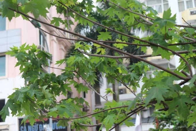 Phong lá đỏ là giống cây ưa lạnh được đưa về trồng ở Hà Nội, với khí hậu nhiệt đới, hiện nay phong đang sinh trưởng tốt, vươn cành, trổ lá xanh mướt.