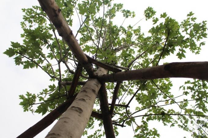 Cây phong được trồng ở Hà Nội có chiều cao khoảng 6-7m, tán rộng khoảng 20-25cm