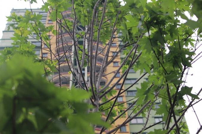 Một số người dân Thủ đô cho biết phong được đưa về trồng vào thời điểm mùa đông, hợp thời tiết nên cây sinh trưởng và phát triển tốt, người dân khá bất ngờ với dáng vẻ của cây phong ở thời điểm hiện tại.