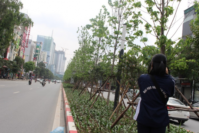 Hàng cây phong xanh tốt, thu hút bạn trẻ đến ngắm nhìn, chụp ảnh trên đường Trần Duy Hưng.