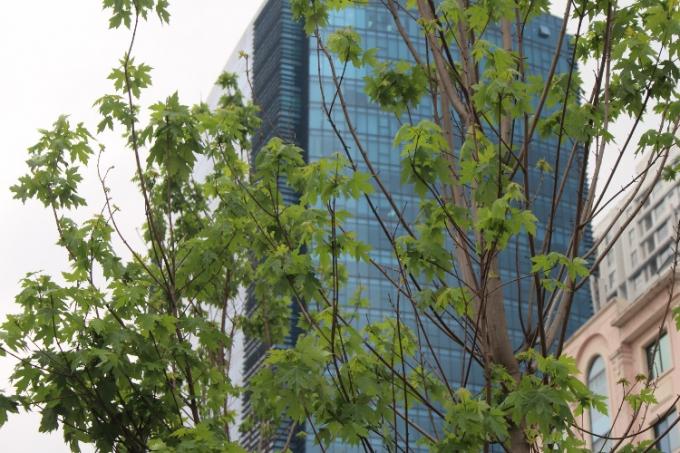 Phong là loài cây quý cho bóng mát, lá phong mới ra có màu xanh sáng, sang thu sẽ chuyển màu đỏ cam hoặc tía, mùa đông lá sẽ rụng và sang thu mới mọc trở lại.