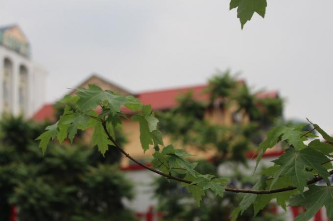 Không chỉ góp phần cải thiện không khí và tạo cảnh quan đô thi, hàng cây phong sinh trưởng và phát triển tốt sẽ tạo cho đường phố Hà Nội một diện mạo mới.