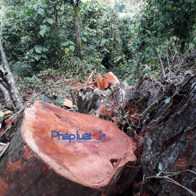 Những gốc gỗ Sâng lớn bị lâm tặc chặt hạ.
