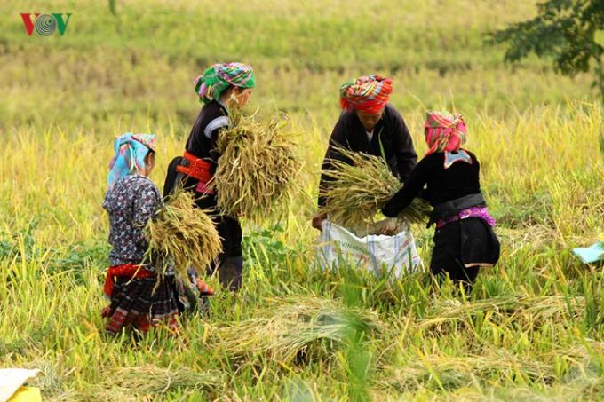 Việc gặt lúa ở đây được bà con thực hiện thủ công.