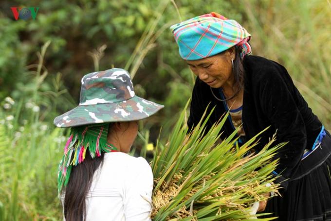 Các giống lúa truyền thống như tẻ dâu, xéng cù đã trở thành thương hiệu trong vùng và cả nước.