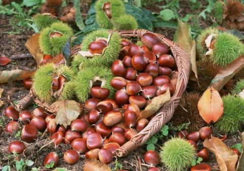 Hạt dẻ Trùng Khánh thường nhỏ nhất cũng bằng ngón chân cái, vỏ lụa rất mỏng, hạt màu vàng sẫm, bùi và thơm ngậy đặc biệt.
