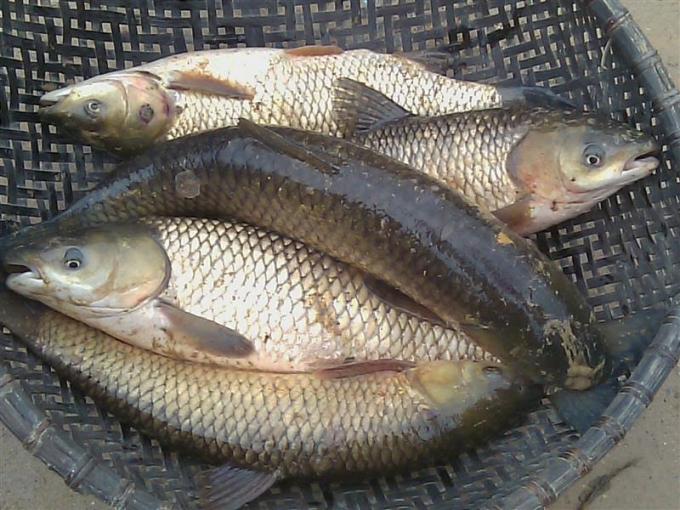 Cá trắm cỏ được bán khá nhiều do giá rẻ nhưng thịt không thơm ngon bằng cá trắm đen.