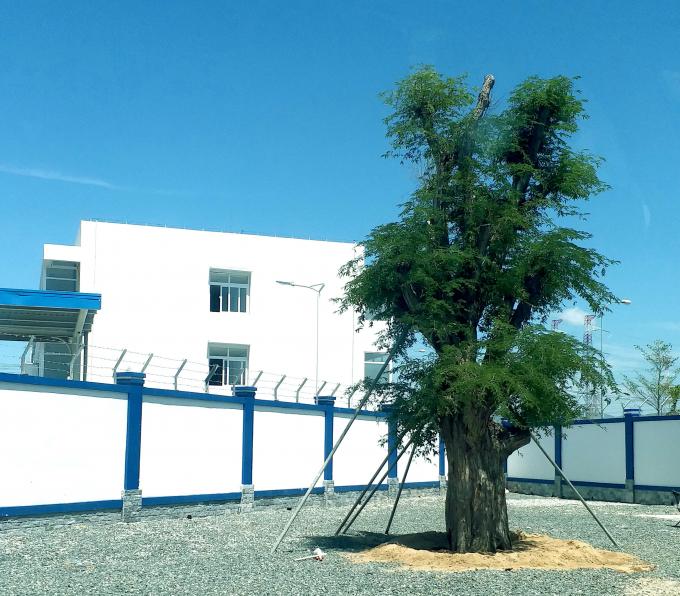 Cây me 200 tuổi được trồng ngay cổng vào của nhà máy.