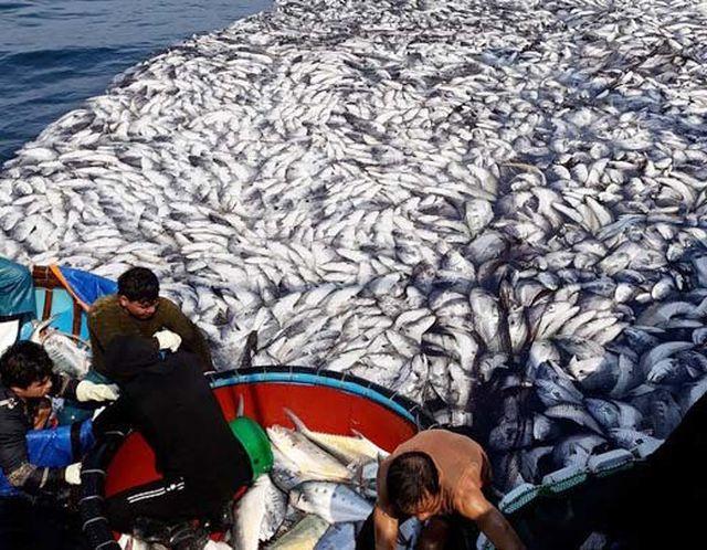 Mất hơn 2 ngày người dân mới thu hoạch xong mẻ cá lớn.