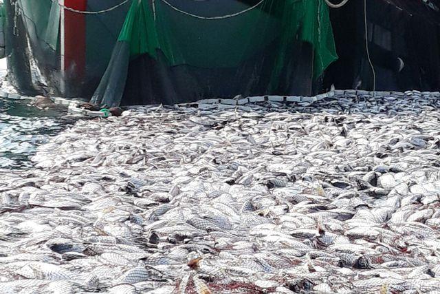 Đây là lần thứ 2 ngư dân đánh bắt được mẻ cá bè lên đến hàng trăm tấn ở ngư trường Cồn Cỏ.