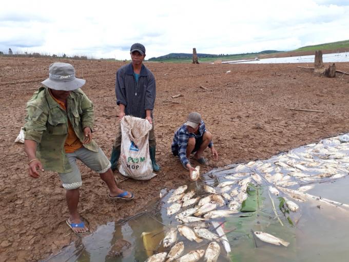 Người dân thu gom cá chết đi chôn tránh ô nhiễm nguồn nước