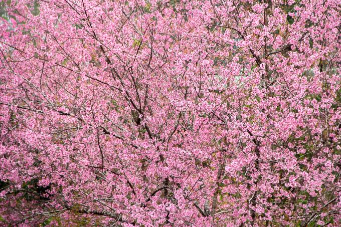 Cây hoa Mai Anh Đào đã nở rộ như đón mùa xuân về