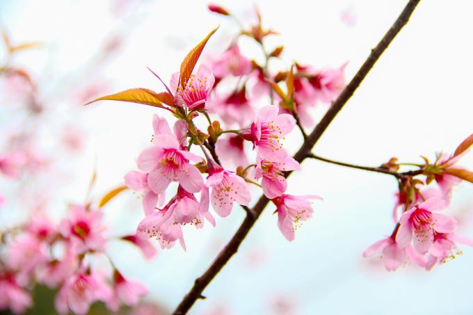 Những cánh hoa Mai Anh Đào mỏng manh nhưng đang tỏa hết cánh với mùa xuân.