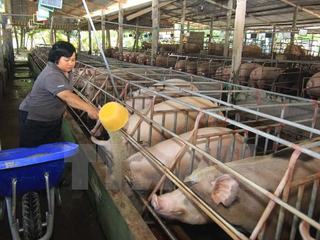 Nông dân chăm sóc đàn lợn nái ở Tiền Giang. Ảnh: Vũ Sinh/TTXVN.