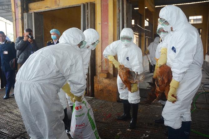 Hiện nay, cả nước có 3 ổ dịch cúm gia cầm A/H5N1 và 1 ổ dịch cúm gia cầm A/H5N6. Ảnh: minh họa/ Nguyễn Vân
