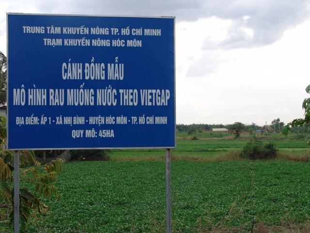 Một góc mô hình rau muống VietGAP tại xã Nhị Bình (Hóc Môn, TP HCM)