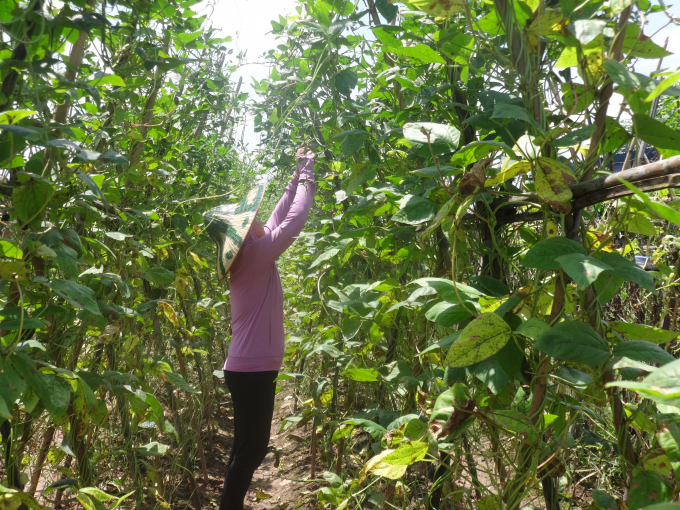 Mỗi ngày, trang trại của gia đình cô xuất đi khoảng 3 tấn rau cùng nhiều loại thực phẩm khác.